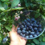 目の健康や視力に良い食べ物・栄養素~ブルーベリー